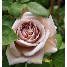 Саджанці троянд Еш Венздей (плетиста)