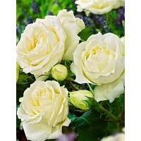 """Троянда """"Б'янка"""" (біла) великий саджанець + подарунок (добриво Vita-Stim """"Старт"""")"""