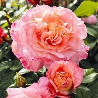 Саджанці Троянд Августа Луїза (чайно-гібридна)