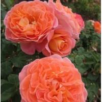 Саджанці троянд Мамі Дітьєр (шраб)
