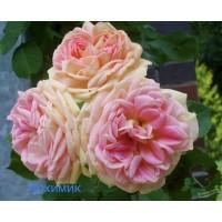 Саджанці троянд Алхімік (плетиста)