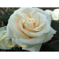 Саженцы роз, Анастасия (чайно-гибридная)