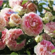 Саджанці троянд Цезар (плетиста)