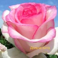 Саджанці Троянд Дольче Віта (чайно-гібридна)