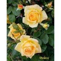 Саджанці троянд Мішка (плетиста)