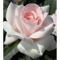 Саджанці троянд Осіана (чайно-гібридна)