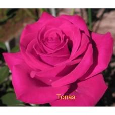 Саджанці троянд Топаз (чайно-гібридна)